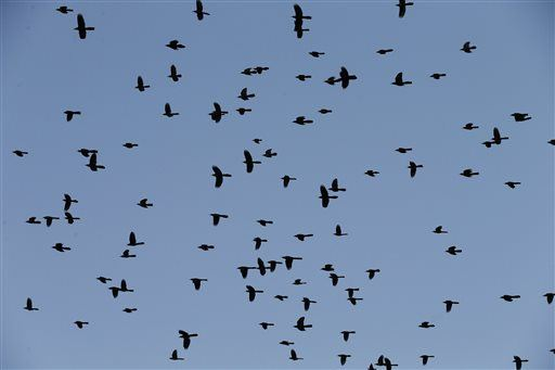 Dozens of Birds Fall From Sky in Boston Neighborhood, and No One Knows Why