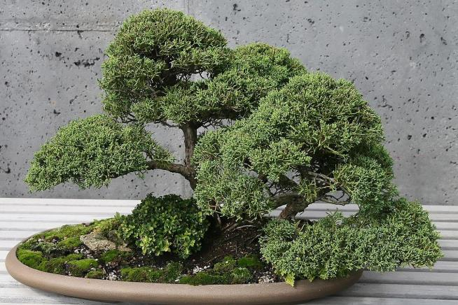 A shimpaku juniper is seen at the North Carolina Arboretum in Asheville