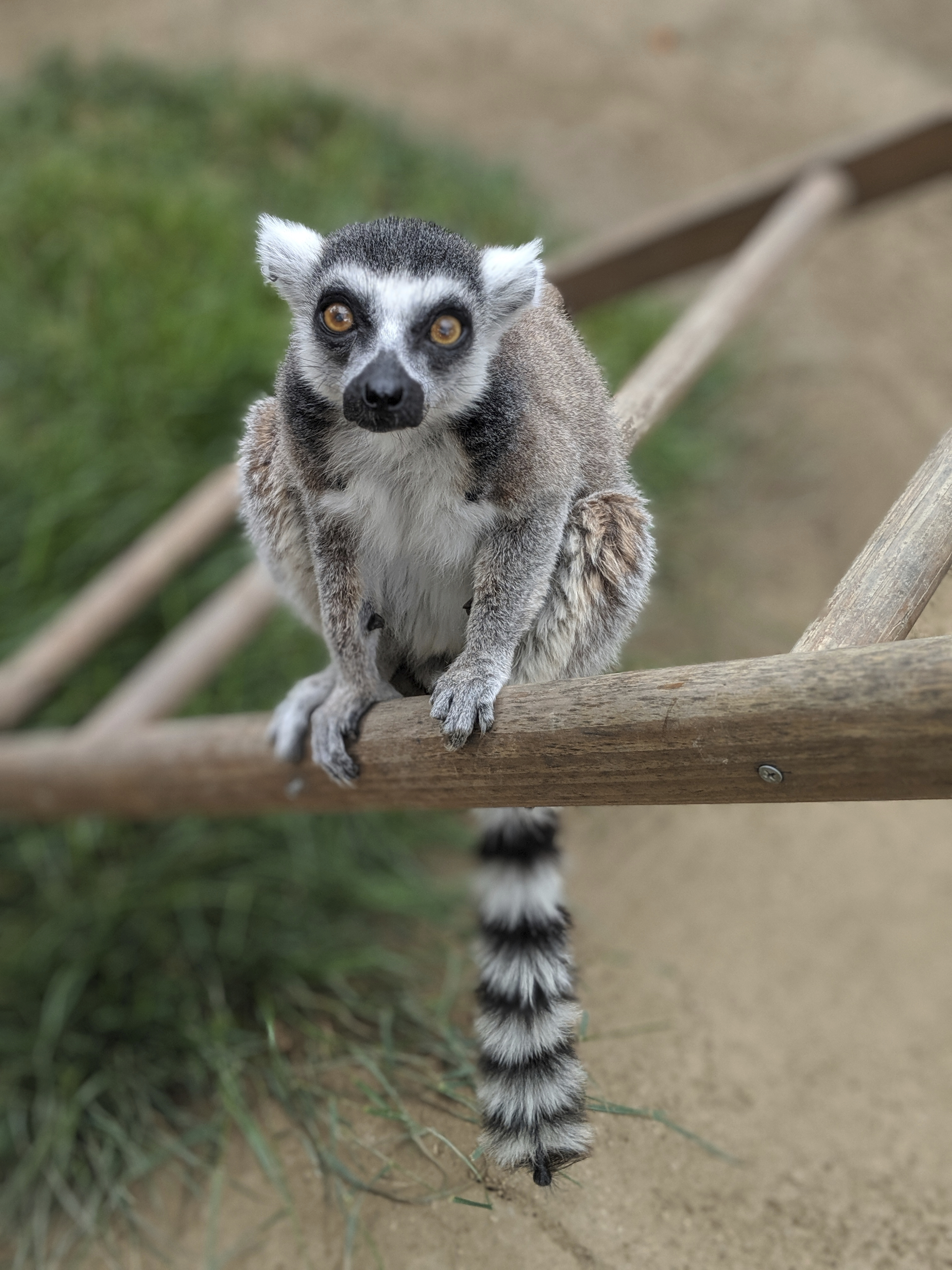 Teen Admits to Stealing Isaac the Lemur From a California Zoo