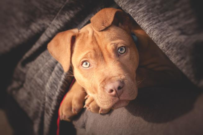 Hero pit bull puppy dies protecting children from a venomous snake