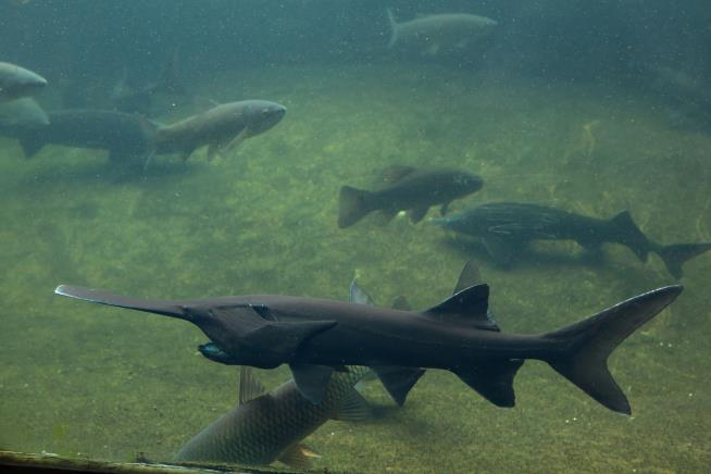 Paddlefish is now extinct, scientists say