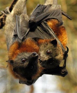 Bats oral sex photos 582