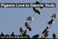 Pigeons Love to Gamble: Study