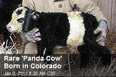 Rare 'Panda Cow' Born in Colorado