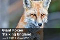 Giant Foxes Stalking England
