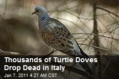 Thousands Of Turtle Doves Drop Dead in Italy