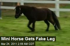 Mini Horse Gets Fake Leg