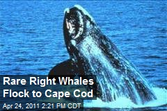 Rare Right Whales Flock to Cape Cod