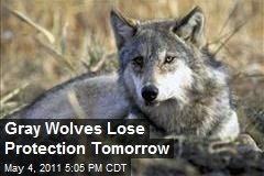 Gray Wolves Lose Protection Tomorrow