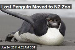 Lost Emperor Penguin Moved to Wellington Zoo
