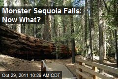 Monster Sequoia Falls: Now What?
