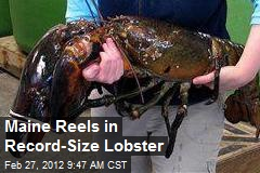 Maine Reels in Record-Size Lobster