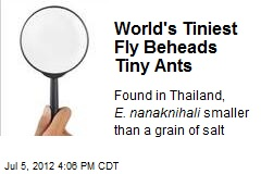 World's Smallest Fly Beheads Tiny Ants