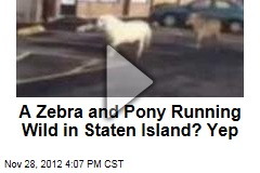 A Zebra and Pony Running Wild in Staten Island? Yep
