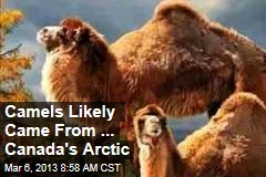 Camels Likely Came From ... Canada's Arctic