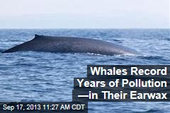 Whales Record Years of Pollution —in Their Earwax