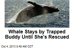 Whale Stays by Trapped Buddy Until She's Rescued