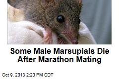 Some Male Marsupials Die After Marathon Mating