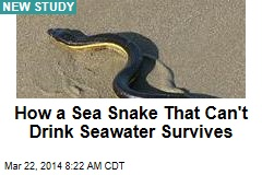 How a Sea Snake That Can't Drink Seawater Survives