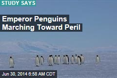 Study Paints Bleak Picture for Emperor Penguins