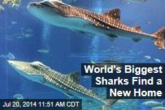 World's Biggest Sharks Find a New Home