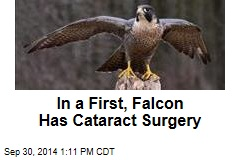 In a First, Falcon Has Cataract Surgery