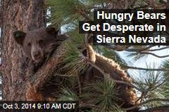 Hungry Bears Get Desperate in Sierra Nevada