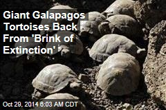 Giant Galapagos Tortoises Back From 'Brink of Extinction'