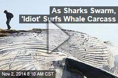 As Sharks Swarm, 'Idiot' Surfs Whale Carcass