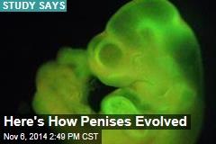 Here's How Penises Evolved