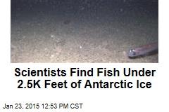 Scientists Find Fish Under 2.5K Feet of Antarctic Ice