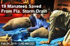 19 Manatees Saved From Fla. Storm Drain