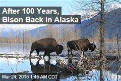After 100 Years, Bison Back in Alaska