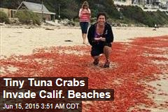 Tiny Tuna Crabs Invade Calif. Beaches
