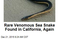 Rare Venomous Sea Snake Found in California, Again