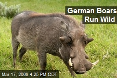 German Boars Run Wild