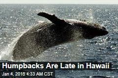 Humpbacks Are Late in Hawaii