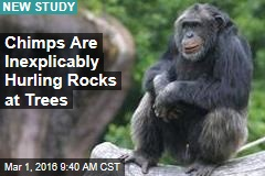 Chimps Are Inexplicably Hurling Rocks at Trees