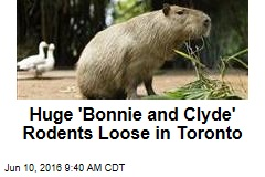 Huge 'Bonnie and Clyde' Rodents Loose in Toronto