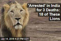 'Arrested' in India for 3 Deaths: 18 of These Lions