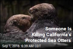 Someone Is Killing Calif. Sea Otters, and They're Protected