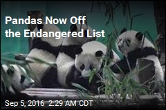 Pandas Now Off the Endangered List