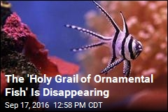 The 'Holy Grail of Ornamental Fish' Is Disappearing