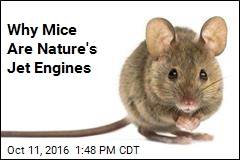 Why Mice Are Nature's Jet Engines