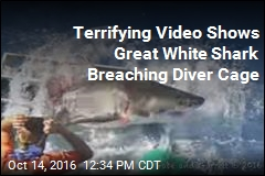 Terrifying Video Shows Great White Shark Breaching Diver Cage