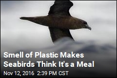 Smell of Plastic Makes Seabirds Think It's a Meal
