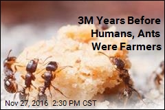 3M Years Before Humans, Ants Were Farmers