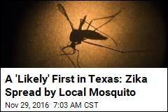 A 'Likely' First in Texas: Zika Spread by Local Mosquito