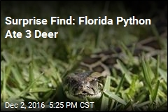 Surprise Find: Florida Python Ate 3 Deer