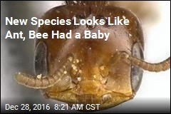New Species Looks Like Ant, Bee Had a Baby